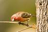 House Finch, Carpodacus mexicanus