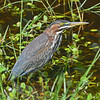 Green Heron in its natural habitat.