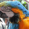 Ara ararauna – Blue and yellow macaw 2
