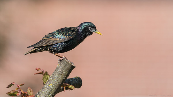 A Poised Starling 2 - taken from bedroom window during lockdown 2020
