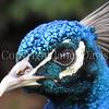 Pavo cristatus – Indian peacock  closeup 2