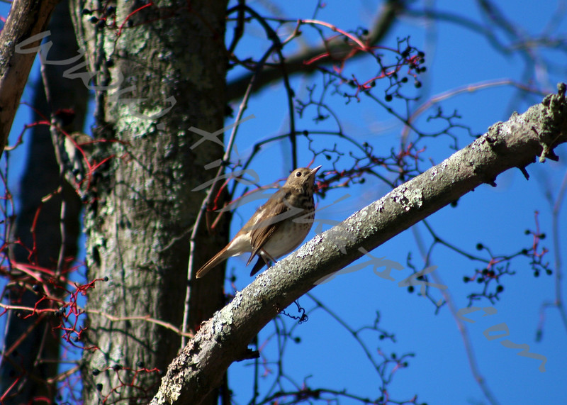 Hermit Thrush - Version 2