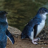 Fairy or Blue Penguins  Australia,,, (Eudyptula minor),