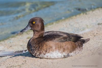 Female Turfted Duck at Farmoor