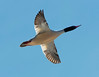 Common Merganser in Flight