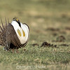 Male Greater Sage-Grouse at Lek