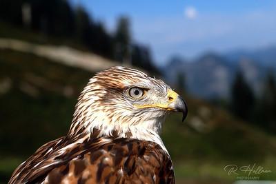 Ferrigunous Hawk