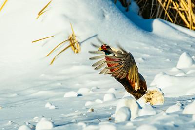 Ringnecked Pheasant, Phasianus cochicus