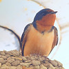 Beautiful Mama Barn Swallow