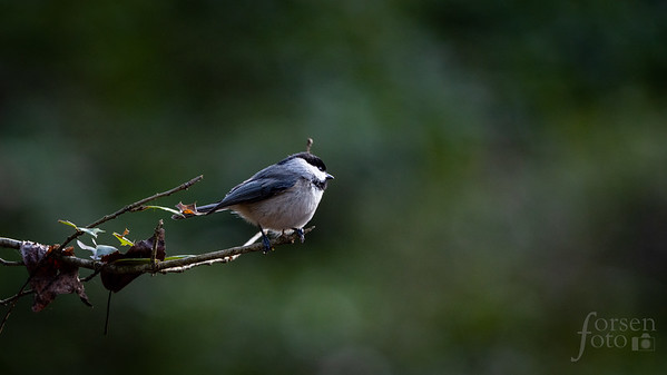 Carolina Chickadee at Fred Crabtree Park