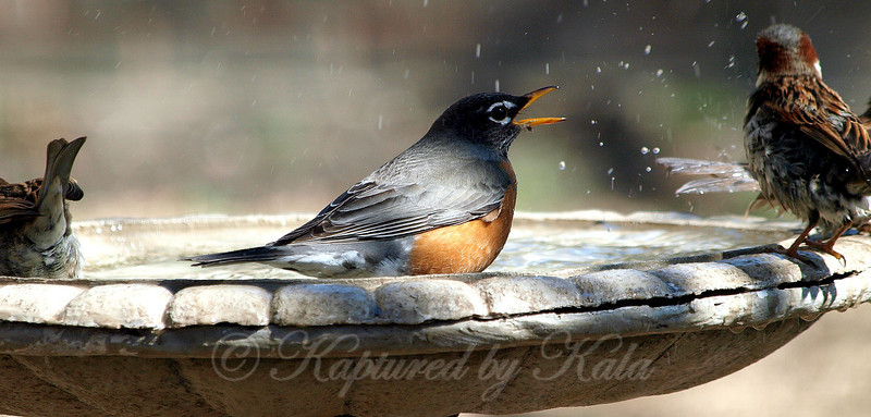 This Female Robin Was Lunging at the Other Birds and Trying to Drive Them Out of the Birdbath
