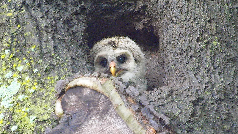 Barred Owlet Trying To Hoot