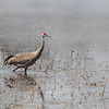 bird; Sandhill crane; Wisconsin; wildlife; Darlene Jansen Photography;