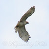 Red-Tail Hawk Soaring High View 1