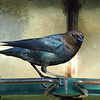 Cowbird At My Feeder