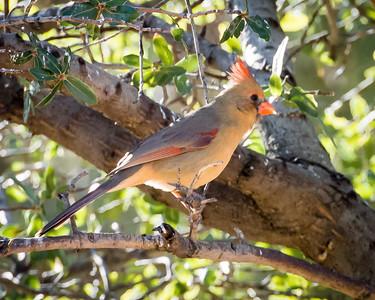 Cardinal (female}