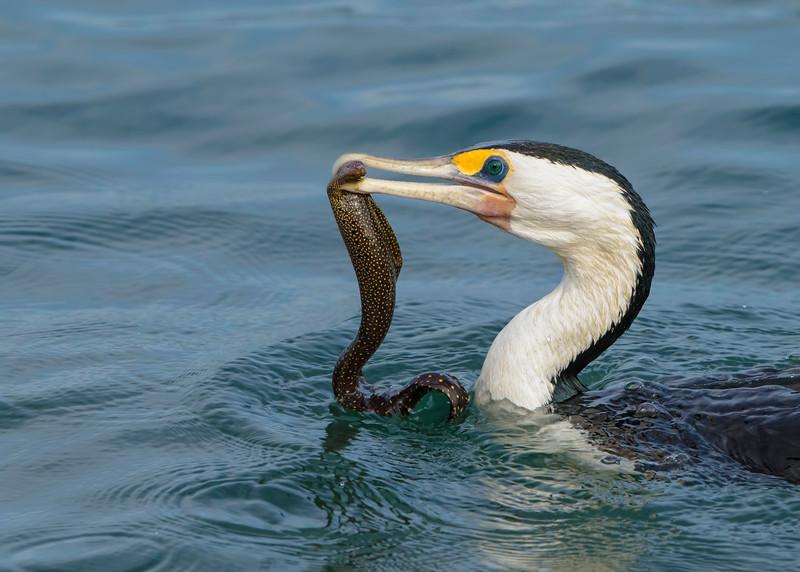 Pied Cormorant (Phalacrocorax varius) catching Eel