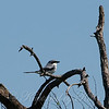 Loggerhead Shrike View 1