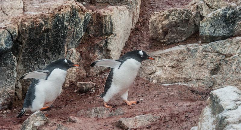 Gento Penguins in Antarctica