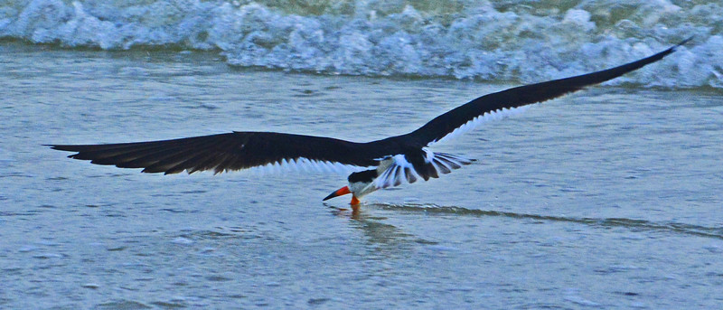 Black Skimmer skims the shoreline of Lovers Key for food.