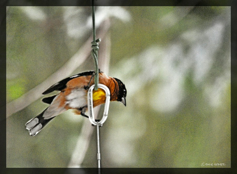 Black-headed Grosbeak (male) ~ Pheucticus melanocephalus