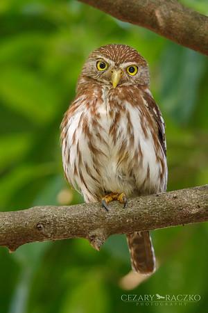 Ferruginous Pygmy Owl (Glaucidium brasilianum)