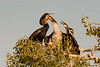African Darter Feeding Time #1