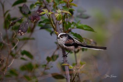 Long-tailed Tit, Dorset