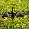 Cormorant sunning