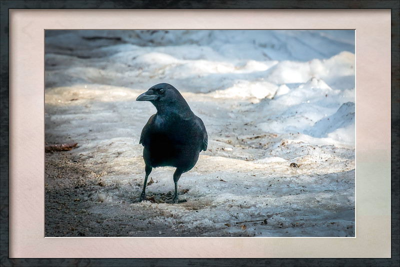 Crow In Frame