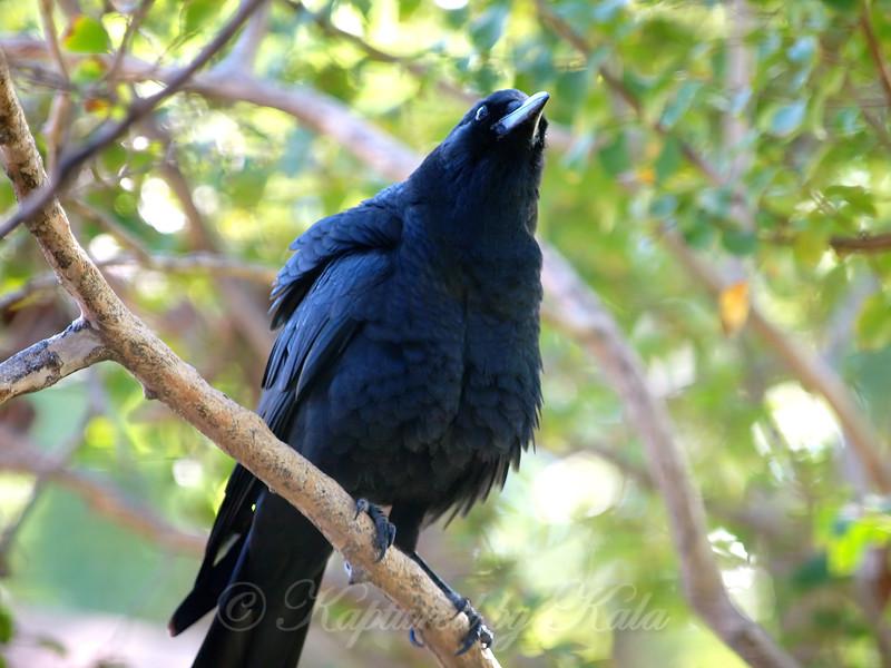 Fluffy Crow