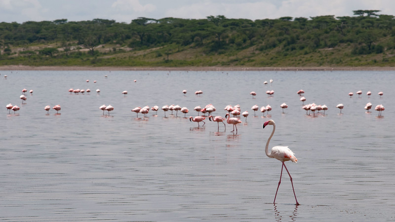 Lesser & Greater Flamingos