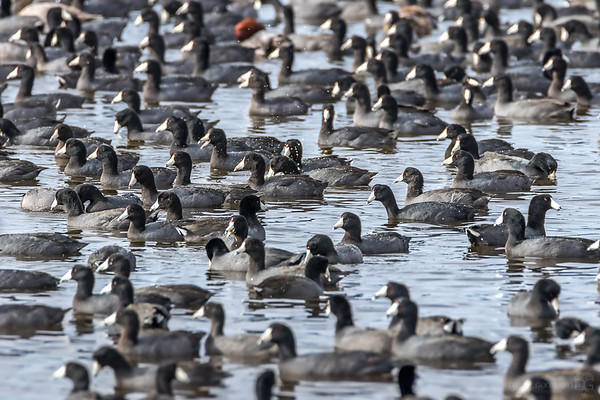 American coots and a redhead duck