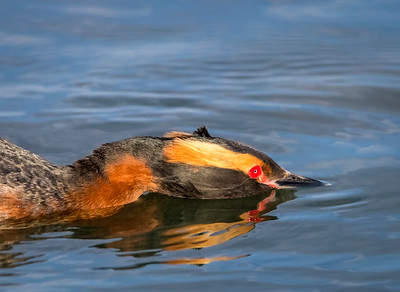 On the Prowl - Horned Grebe, Lake Mývatn, Iceland