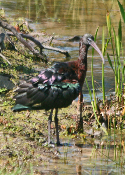 White-faced Ibis.