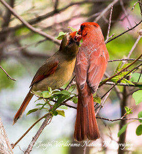 Male Cardinal feeding female (3)
