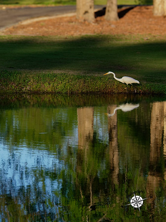 Stalking White Egret, Goose Creek, SC, 2017