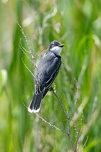 Eastern Kingbird in Nebraska