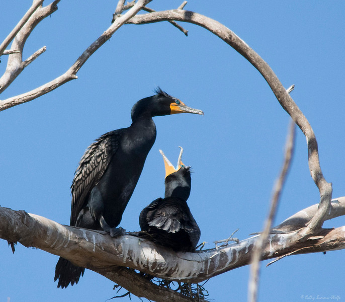 Cormorants starting a nest at Elkhorn Slough, Moss Landing, California