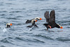 Tufted Puffins.