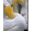 Gannet courtship