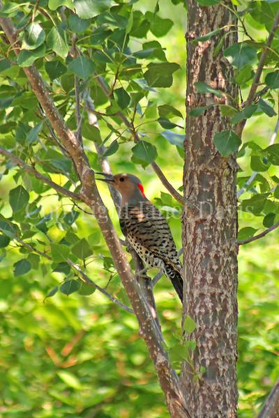 Colaptes auratus – Northern flicker