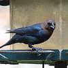Brown-headed Cowbird Enjoying Some Birdseed