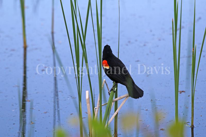 Agelaius phoeniceus – Red winged blackbird male 2