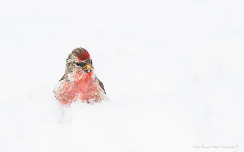 Redpoll in Snow