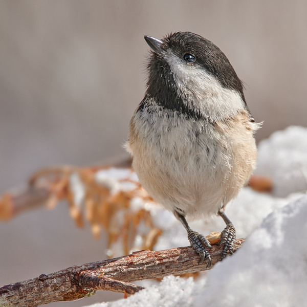 How does a Black Chapped Chickadee survive a Minnesota winter?  By eating half his body weight every day, maintaining a rest heart rate of about 600 and a body temperature of 105.  An amazing bird.