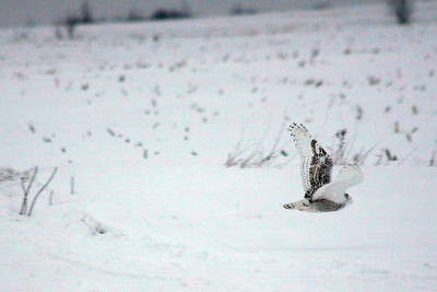 IMG_7379_Snowy_owl_inflight