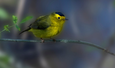 Wilson's Warbler sitting in a tree