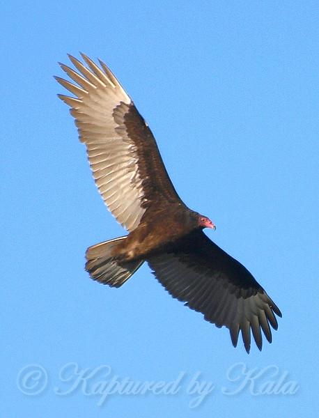 Turkey Vulture In Flight From Below