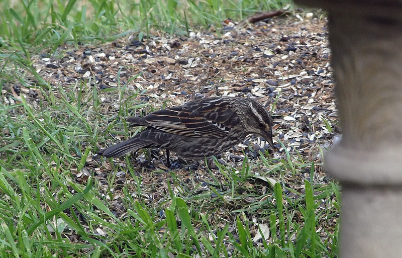 First Time I've Had A Female Red-winged Blackbird In My Yard